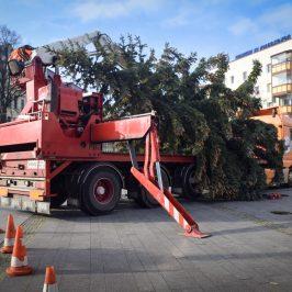 Stadtfelder Weihnachtstanne auf dem Wilhelmstädter Platz aufgestellt